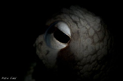 The eye of an Octopus vulgaris using a snoot. by Patxi Vidal