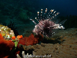 Lion Fish steady searching some food by Melriansyah Df