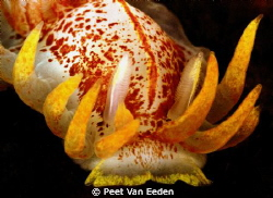 Fiery Nudibranch by Peet Van Eeden