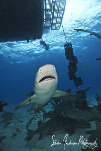 This Lemon Shark was hungry as the action heats up at Tig... by Steven Anderson