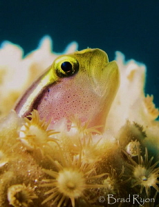 A blenny poking its head out of a sponge. by Brad Ryon
