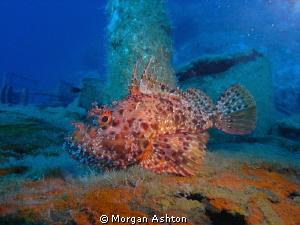 Scorpion Fish in Kas, Turkey. by Morgan Ashton