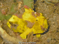 Frog Fish on a night dive by Lin Dysinger