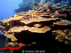 West End Wall, Roatan by Rickey Ferand