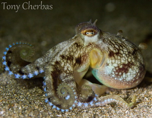 Macho-Octo by Tony Cherbas