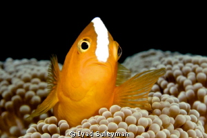 """Eastern Skunk Anemonefish """"Golden fish"""" :) Canon 60D, 1... by Iyad Suleyman"""