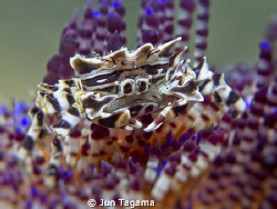 Zebra Crab - G12 + Inon UCL165 by Jun Tagama