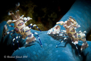 Pair of Harlequin Shrimp-Lembeh-snoot lighting. by Richard Goluch