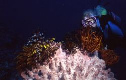 Night diving in the Bismark Sea off New Britain - Papua N... by Jerry Hamberg
