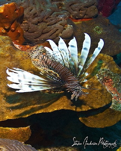 The enemy of the sea and the reef - The Lionfish -This im... by Steven Anderson