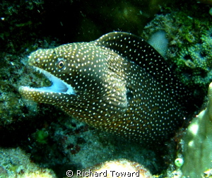 Small Eel rearing its head as I swam by. by Richard Toward