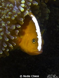 Surprese ? I love this photo, this beautiful clown fish ... by Nadia Chiesi