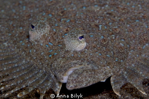 Leopard flounder by Anna Bilyk
