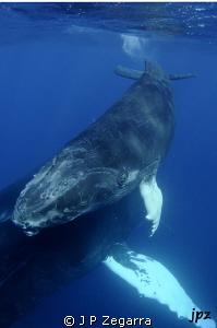 humpback calf eye view... by J P Zegarra