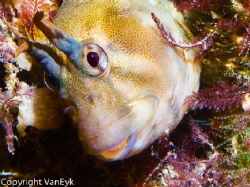 Blenny returning to its favorite hideout under the pier. by Bill Van Eyk