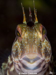 Hipnotic look of a blenny in its hole. by Pietro Cremone