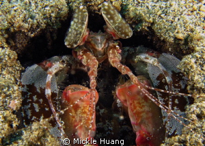 Mantis shrimp Aniloa, the Philippines by Mickle Huang