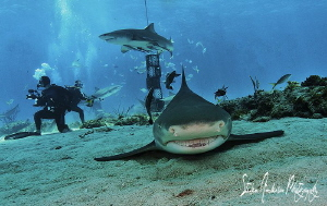 This Lemon Shark returns to the round of lap at Tiger Bea... by Steven Anderson