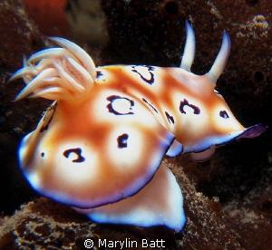 Chromodoris nudibranch by Marylin Batt