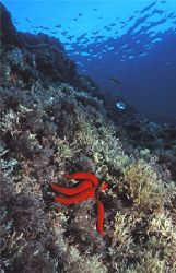 Red Starfish, Reqqa Point, Gozo. Eos 5 with 24mm + single... by James Garland