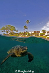 Close to civilization. Green Sea Turtles on the reef at H... by Douglas Klug