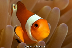 Western Clown Anemonefish by Iyad Suleyman