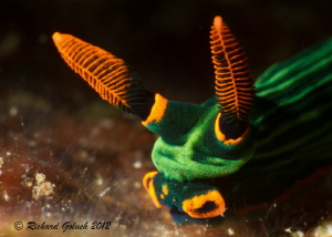 """Puppet Face""-Nembrotha Kubaryana-Lembeh-snoot lighting by Richard Goluch"