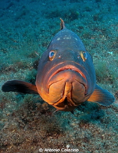 A large brown grouper by Antonio Colacino