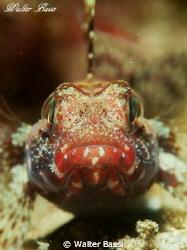 Ghiozzo boccarossa gobius cruentatus by Walter Bassi