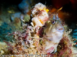 Blenny - posing for the camera by Bill Van Eyk