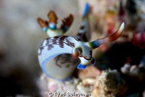 Nudibranch Nembrotha lineolata by Iyad Suleyman