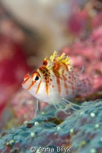 Coral Hawkfish  by Anna Bilyk