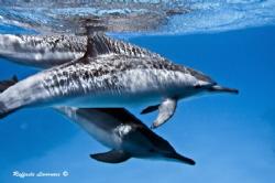 Dolphins swimming by Raffaele Livornese