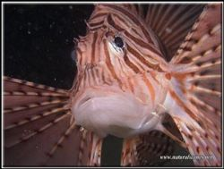 This Lion fish was attacking my camera and I had to keep ... by Erika Antoniazzo