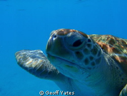 Green turtle by Geoff Yates