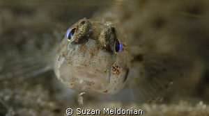 Really tiny Goby juvenile, taken with 10x subsee. by Suzan Meldonian