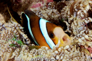 Say AHHH! Anemonefish taken with Canon 60D, 100 mm macro... by Iyad Suleyman