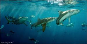 Shark Dance by Dmitry Vinogradov