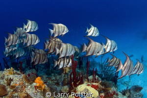 Schooling spade fish in St. Croix by Larry Polster
