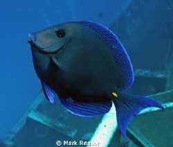 Blue tang above the wreck of the US Kittywake by Mark Reasor
