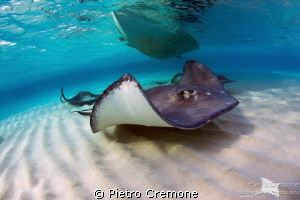 Southern Stingrays at Sandbar by Pietro Cremone