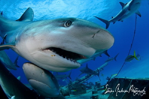 This mage was taken during a shark shoot at Stuart Coves ... by Steven Anderson