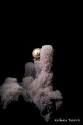 Example of underwater reproduction by Raffaele Tasso