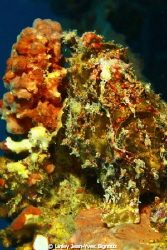 Frog fish on a wreck site at 28 m,Canon 7d Ikelite Stobes by Linley Jean-Yves Bignoux