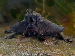 Batfish by Abimael Márquez