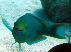 Parrotfish after visiting the dental hygienist. by Mark Reasor