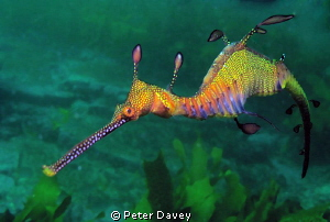 Weedy Sea Dragon by Peter Davey