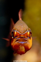 Cardinal fish with eggs!   Hello UPC community!  Cano... by Moritz Drabusenigg
