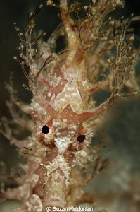 A Frilled seahorse who discovered his own reflection in t... by Suzan Meldonian
