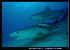 Tiger Sharks at Tiger Beach.... :O)... by Michel Lonfat